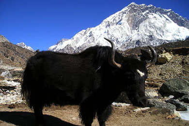 Nepal Yak Tibetan